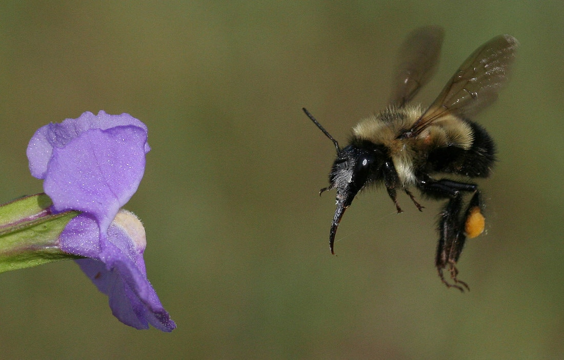 Bombus fervidus approaching Mimulus ringens flower.  Photo: jeffrey-karron